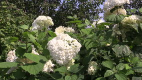 White hydrangea inflorescences bunch on windy summer day stock video footage