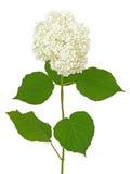 White hydrangea. Isolated on white background Royalty Free Stock Photos