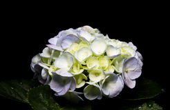 White hydrangea over black background. Stock Photo