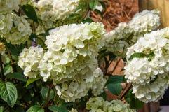 White hydrangea plants in full bloom Stock Photos