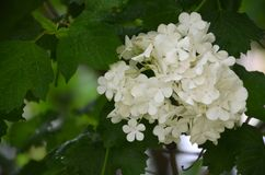 White hydrangea in the spring time with natura light. Background royalty free stock photos