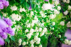 White hydrangea tree. Closeup, soft focus royalty free stock photography