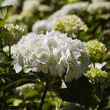 White Hydranger Royalty Free Stock Images