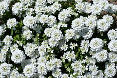 White iberis sempervirens flower Stock Photo