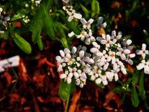 White Iberis umbellata stock image