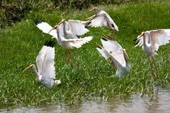 White Ibis. Flock of White Ibis taking off Royalty Free Stock Photos
