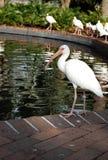 White Ibis. Photo of a white ibis, Orlando, Florida, USA Stock Photo