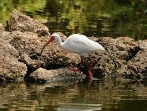 White ibis Stock Photos