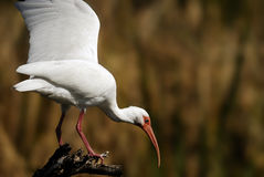 White Ibis. Watching from perch Stock Image