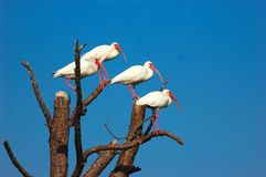 White Ibis. Gather in a storm damaged tree on the Babcock Webb Wildlife Management Area in Punta Gorda Florida. Birds of a feater flock together stock photography
