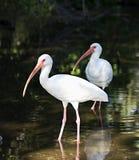 White ibis Royalty Free Stock Photos