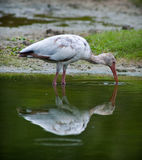 White Ibis Royalty Free Stock Photos