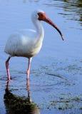 White ibis. Closeup of white ibis in the water royalty free stock image