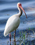 White Ibis. A view of a white Ibis wading in the water and grass at the shore of a lake Stock Images