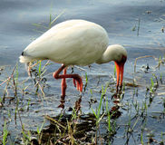 White ibis  Stock Photo