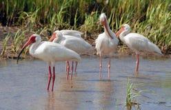 White Ibis. Ibis along the florida Gulf Coast. Madeira Beach Florida royalty free stock photos