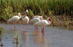 White Ibis. Ibis along the florida Gulf Coast. Madeira Beach Florida royalty free stock photo