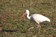White Ibis Royalty Free Stock Image
