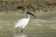 White ibis. A White ibis Walking in the river side Stock Image