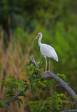 White ibis. Ona branch in the Everglades of Florida Stock Photo
