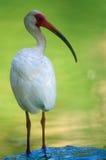White Ibis. (Eudocimus albus), Florida Stock Photo