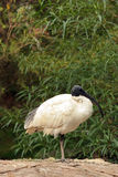 White ibis. A white ibis standing on a rock in front of an Aussie bush setting Stock Photos