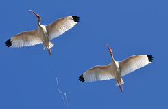 White ibis. Doing his thing while flying above our heads Royalty Free Stock Photography