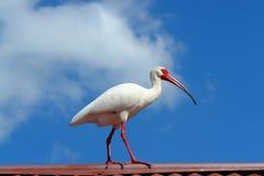 White Ibis. (Eudociumus Albus) in Florida Royalty Free Stock Photography