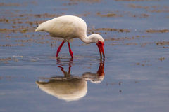 White Ibis. Adult White Ibis In Bright Red Breeding Colors Foraging In Marsh With Reflection Royalty Free Stock Photos