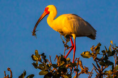 White Ibis. Adult White Ibis In Bright Red Breeding Colors Perched On Mangrove Bush With Nesting Material In Its Beak Royalty Free Stock Image