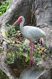White Ibis Stock Photography