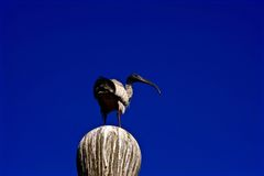 White Ibis Against a Blue Sky. Stock Photography
