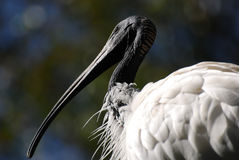 White Ibis. Australian White Ibis (Threskiornis molucca) looking Royalty Free Stock Photos