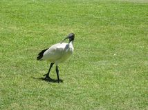 White Ibis Royalty Free Stock Images