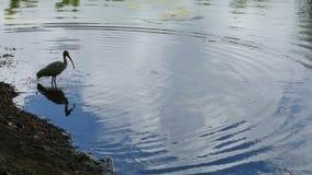 White Ibis bathing stock footage
