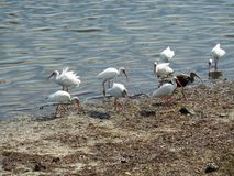 White ibis bids by lake Stock Photography
