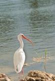 White Ibis in Big Cypruss Preserve stock photo