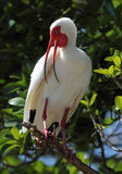 White ibis with bill open. Stock Photography