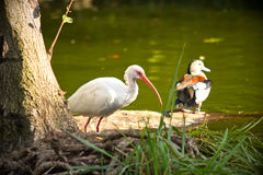 White Ibis bird Stock Photo
