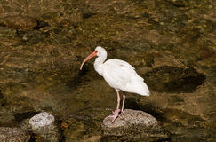 White Ibis bird fishing in a river Stock Images