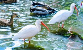 The White Ibis bird in the park in the autumn Royalty Free Stock Image