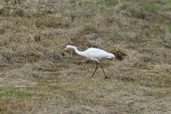 White ibis bird. Standing in green grassland taken in Bangkok, Thailand Stock Photos