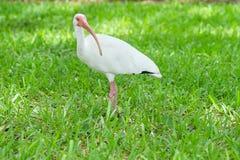 White ibis bird standing in green grassland Stock Images