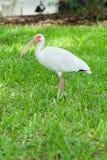 White ibis bird standing in green grassland Stock Photos