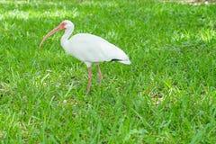 White ibis bird standing in green grassland Royalty Free Stock Photos