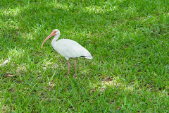 White ibis bird Stock Images