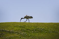 White Ibis Bird walking on grass Stock Images