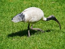 White ibis with a black foliage tail Stock Photography