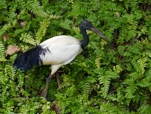 White Ibis with a black head Royalty Free Stock Images
