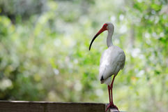 White Ibis on Boardwalk Stock Photo